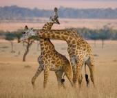 Giraffes in savanna outdoors — Stock Photo