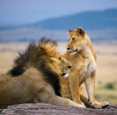 Lions male and female — Foto Stock
