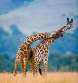 Giraffes in savanna outdoors — Stockfoto