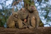 Family on monkeys sitting — Stock Photo