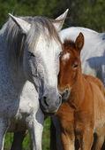 Portrait of gorgeous horses, — Stock Photo
