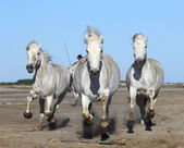 White Camargue Horses — Stock Photo
