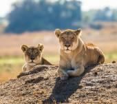 Two wild  lionesses — Stockfoto