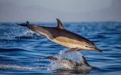 Dolphin in blue sea — Stock Photo