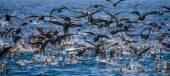 Large flock of black seabirds — Stock Photo