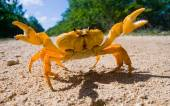 Yellow land crab close up — Stock Photo