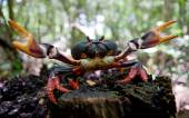Red land crab close up — Stock Photo