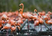The pink Caribbean flamingos — Stock Photo