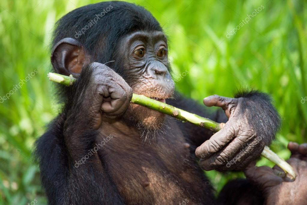 Zeldzame soort chimpansee