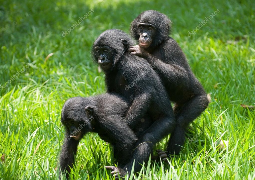 baby bonobo affen stockfoto gudkovandrey 94266850. Black Bedroom Furniture Sets. Home Design Ideas
