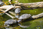 Żółwie na wodzie — Zdjęcie stockowe