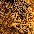 Busy bees, close up view of the working bees on honeycomb.  — Stock Photo #71510595