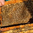 Bees works on honeycomb. — Stock Photo #71510623