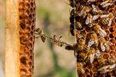 Funny situation on honeycomb.  — Fotografia Stock