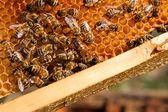 Abelhas dentro de uma colméia com a rainha abelha no meio — Fotografia Stock