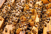 Busy bees, close up view of the working bees on honeycomb.  — Fotografia Stock