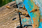Busy bees, close up view of the working bees. — Stock Photo