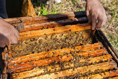Beekeeper checking a beehive to ensure health of the bee colony. — Stock Photo