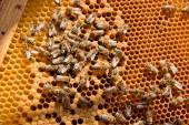 Busy bees, close up view of the working bees on honeycomb. — Stock Photo