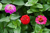 Zinnia flowers on the natural background. — Stock Photo