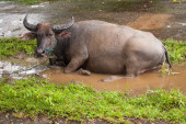 Buffalo lying in a puddle — Stock Photo