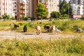 Sheeps in een weide — Stockfoto