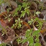 Tomato seedlings — Stock Photo #70624335