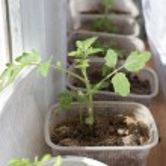 Tomato seedlings — Stock Photo #70624341