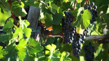 Tuscan Vineyards in Italy — Wideo stockowe