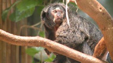 Pale-faced Saki monkeys — Stock video