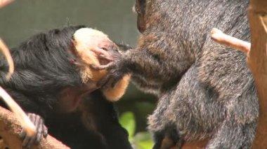 Two pale faced saki monkeys — Stock Video