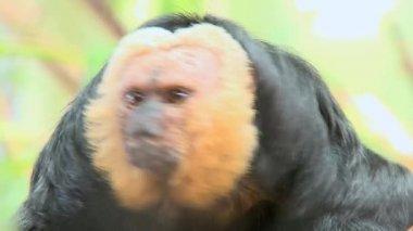 脸色苍白的清酒猴子 — 图库视频影像