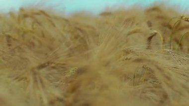 Field of wheat and blue sky — Stock Video