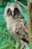 The little Owlet is sitting on a branch and looking at the camera — Stock Photo