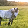Grey horse stands on the field, looks aside, the sun sets, golden hour, copy-space — Stock Photo #75691519