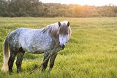 Caballo gris se encuentra en el campo, mira a un lado, el sol se pone, hora dorada, espacio de copia — Foto de Stock