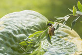 Garden snail crawling on a branch hanging over leaf Hosta fortunei Marginato-alba — Stock Photo