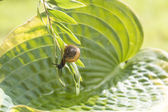 Garden snail crawling upside down on a branch hanging over leaf Hosta with water — Stock Photo