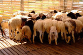 The group of sheep — Stock Photo
