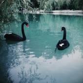 Svarta svanar i dammen — Stockfoto