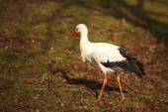 The stork — Stock Photo
