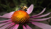 Honey Bee on Echinacea — Stock Photo