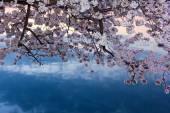 Κερασιές στο άνθος γύρω από την παλιρροιακή λεκάνη, Washington Dc — Φωτογραφία Αρχείου