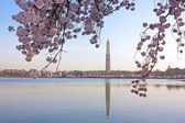 Cherry blossom in view of Washington Monument. — Stock Photo