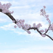 Blossoming cherry tree branch against blue sky with clouds. — Stock Photo #70688415
