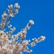 Blossoming cherry tree branch against a clear blue sky. — Stock Photo #70688461