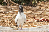 Blackhead white pigeon looking curiously — Stock Photo