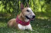Stier Terriers van de paar — Stockfoto