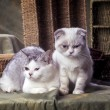 ������, ������: Scottish fold