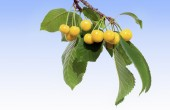 Třešňová větvička s žlutým třešně — Stock fotografie